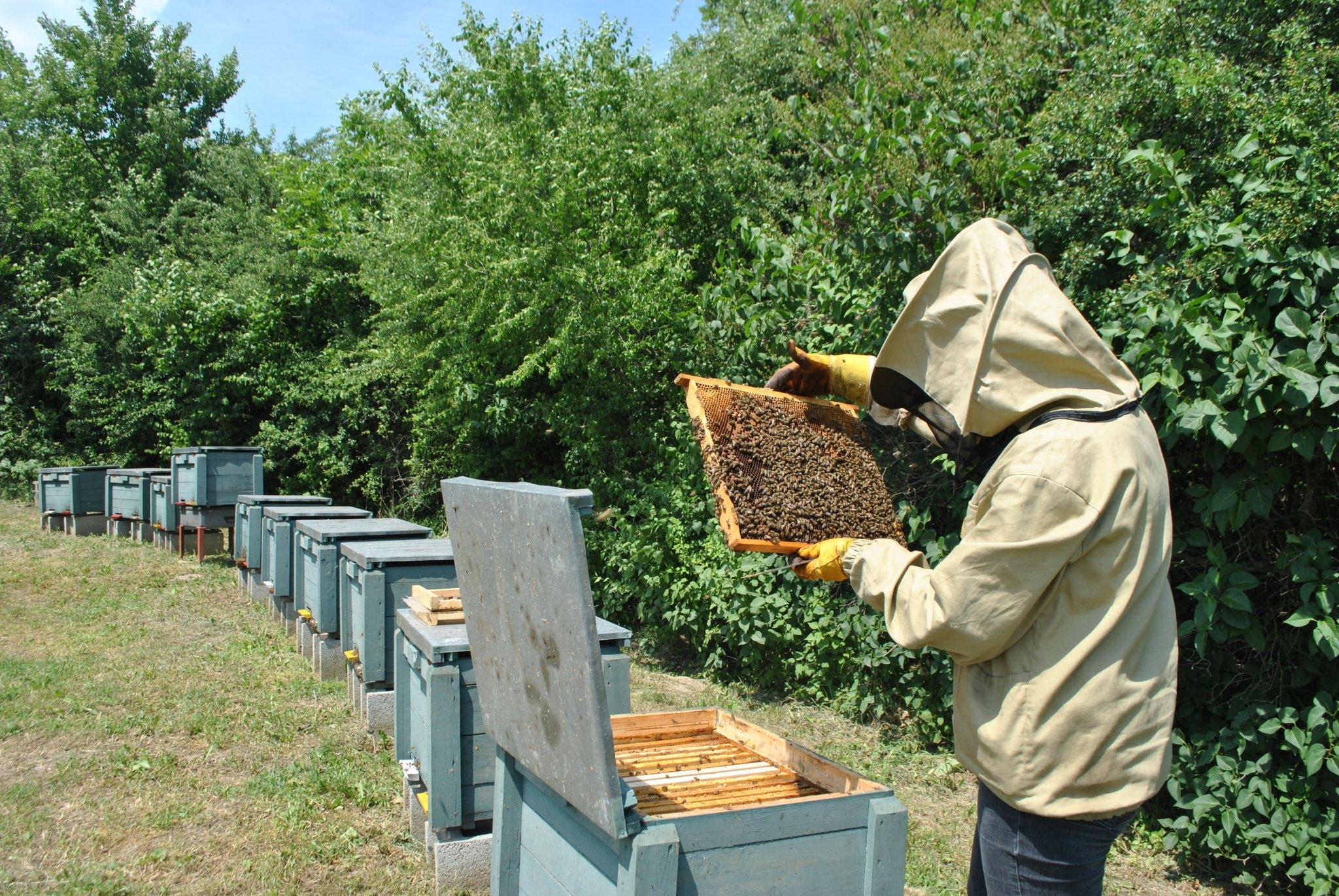 Méhek kezelik a prosztatitist